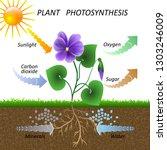 vector diagram of plant... | Shutterstock .eps vector #1303246009