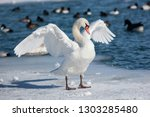 Mute Swan Standing On Ice With...