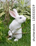 Stock photo cute white rabbit eating basil leaf 130333319