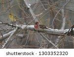 house finch in tree | Shutterstock . vector #1303352320