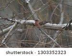 house finch in tree | Shutterstock . vector #1303352323