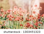 close up of blooming astrantia... | Shutterstock . vector #1303451323