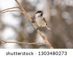 willow tit  poecile montanus ... | Shutterstock . vector #1303480273