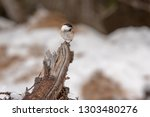willow tit  poecile montanus ... | Shutterstock . vector #1303480276