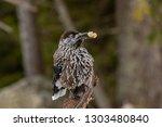 spotted nutcracker  nucifraga... | Shutterstock . vector #1303480840