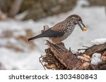 spotted nutcracker  nucifraga... | Shutterstock . vector #1303480843