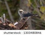 spotted nutcracker  nucifraga... | Shutterstock . vector #1303480846