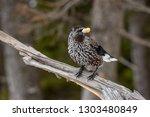 spotted nutcracker  nucifraga... | Shutterstock . vector #1303480849