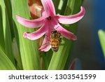 honey bee latin apis mellifera...   Shutterstock . vector #1303541599
