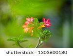 adenium or desert rose flower... | Shutterstock . vector #1303600180