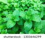 natural green spearmint... | Shutterstock . vector #1303646299