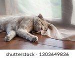 Stock photo shorthair pale ginger scottish fold cat sleeps on the wooden floor of the summer house 1303649836