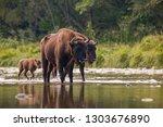 numerous herd of european bison ...   Shutterstock . vector #1303676890