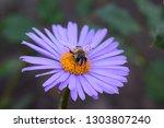 Alpine Aster Purple Or Lilac...