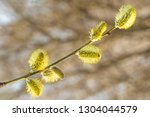 blossoming willow in spring on... | Shutterstock . vector #1304044579