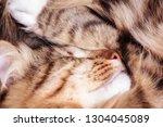 sleeping cat close up   Shutterstock . vector #1304045089