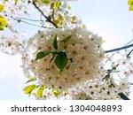 blooming apple tree branch in... | Shutterstock . vector #1304048893