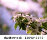 blooming apple tree branch in... | Shutterstock . vector #1304048896