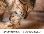 a ginger cat cleaning itself ... | Shutterstock . vector #1304095660