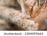 cat washing itself closeup. | Shutterstock . vector #1304095663