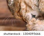 portrait of a ginger cat... | Shutterstock . vector #1304095666