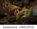 red hermit crab with blue eyes... | Shutterstock . vector #1304115910