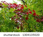 red and green leaves of hop...   Shutterstock . vector #1304135020