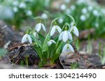 beautifull first flowers... | Shutterstock . vector #1304214490