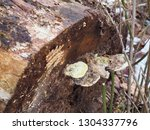 Close Up Shot Of Bracket Fungi...