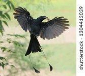 racket tailed drongo in flight...   Shutterstock . vector #1304413039
