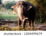 an elephant stretches its trunk ... | Shutterstock . vector #1304499679