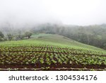 cabbage field in north of... | Shutterstock . vector #1304534176