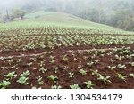 cabbage field in north of... | Shutterstock . vector #1304534179