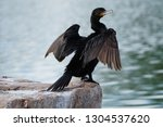 Close Up Of Cormorant Standing...