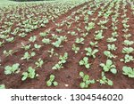 cabbage field in north of... | Shutterstock . vector #1304546020