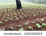 cabbage field in north of... | Shutterstock . vector #1304546023