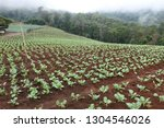cabbage field in north of... | Shutterstock . vector #1304546026
