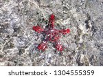 African Red Knobbed Starfish...