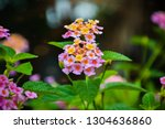 colorful of weeping lantana... | Shutterstock . vector #1304636860