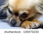 tired dog long haired ... | Shutterstock . vector #130473233