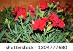 carnation plants ooty tamil...   Shutterstock . vector #1304777680