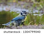blue tit washing in puddle.... | Shutterstock . vector #1304799040