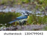 blue tit washing in puddle.... | Shutterstock . vector #1304799043