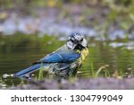 blue tit washing in puddle.... | Shutterstock . vector #1304799049