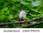 eurasian nuthatch sitting on... | Shutterstock . vector #1304799070
