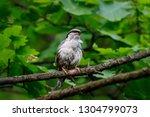 eurasian nuthatch sitting on... | Shutterstock . vector #1304799073
