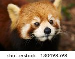 The Red Panda  Firefox