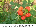 red fruit grows out from the... | Shutterstock . vector #1304992213