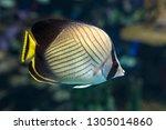 Vagabond Butterflyfish ...