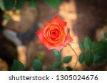 close up of rose pink rose ... | Shutterstock . vector #1305024676